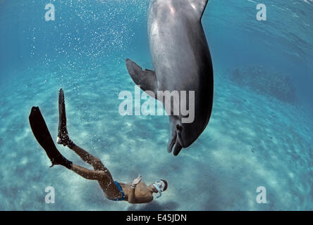 Snorkeler interacting with wild Bottlenose Dolphin (Tursiops truncatus), Nuweiba, Egypt - Red Sea. Model released. - Stock Photo
