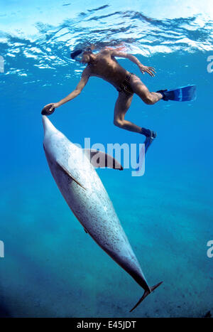 Snorkeler holding Sea Cucumber (Holothuria edulis) swimming with wild Bottlenose Dolphin (Tursiops truncatus), Nuweiba, - Stock Photo