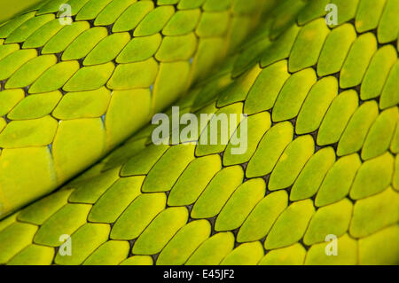 Eastern green mamba {Dendroaspis angusticeps} skin detail, captive, from East Africa - Stock Photo