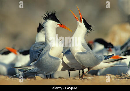 Elegant tern (Sterna / Thalasseus elegans) pair performing courtship dance amongst breeding colony, Rasa Island - Stock Photo