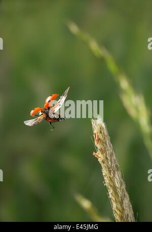 Seven spot ladybird {Coccinella septumpunctata} flying from grass head, UK - Stock Photo