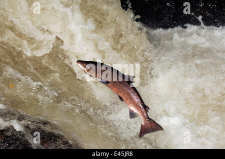 Male Atlantic salmon {Salmo salar} leaping, migrating upstream to spawn, Perthshire, Scotland, UK, October - Stock Photo