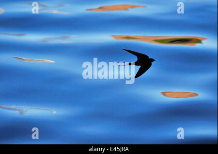 Silhouette of Barn Swallow (Hirundo rustica) flying over water, hawking for insects, Berwickshire, Scotland, UK, - Stock Photo