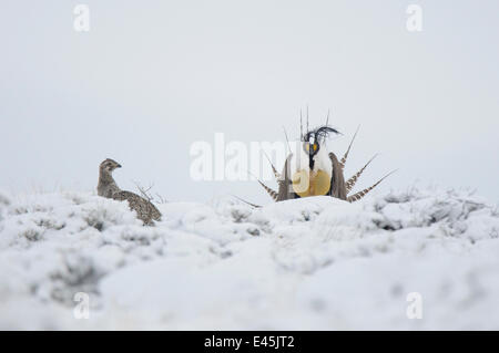 A male Gunnison Sage Grouse (Centrocercus minimus) displaying near a female in snowy sage. Gunnsion County, Colorado, - Stock Photo