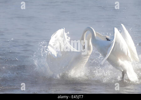 Trumpeter Swans (Cygnus buccinator) in winter morning mist, showing aggression during courtship behaviour, Mississippi - Stock Photo
