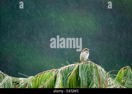 Male House sparrow (Passer domesticus) peched on a fallen Fir tree in heavy rain, Christchurch, New Zealand, March - Stock Photo