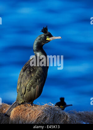 Shag (Phalacrocorax aristotelis) at nest site, Norway - Stock Photo