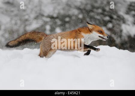 European Red Fox (Vulpes vulpes) running through deep snow, UK, captive - Stock Photo