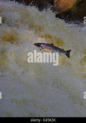 Atlantic salmon (Salmo salar) jumping waterfall during migration to spawn, Scotland - Stock Photo