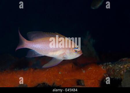 Mediterranean fairy basslet (Anthias anthias) on artificial reef, Larvotto Marine Reserve, Monaco, Mediterranean - Stock Photo