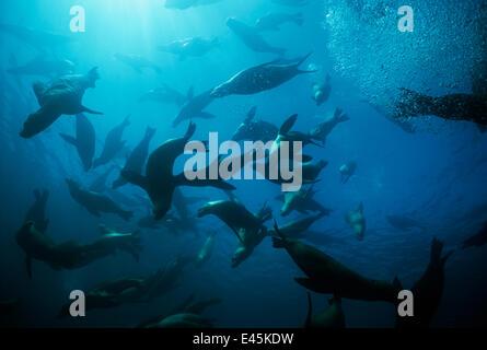 Large group of Californian sealions (Zalophus californianus) swimming and playing underwater, Anacapa Island, California, - Stock Photo