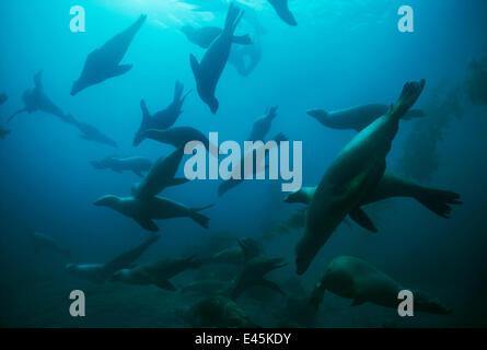 Large group of Californian sealions (Zalophus californianus) swimming underwater, Anacapa Island, California, Pacific - Stock Photo