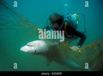 Sequence 2/3 Diver with anti-shark POD examininf Tiger shark (Galeocerdo cuvier) caught in anti-shark net off Durban - Stock Photo