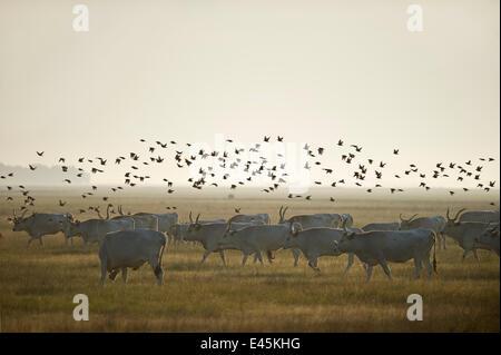 Hungarian grey cattle (Bos primigenius taurus hungaricus) with European starlings (Sturnus vulgaris) flying overhead, - Stock Photo
