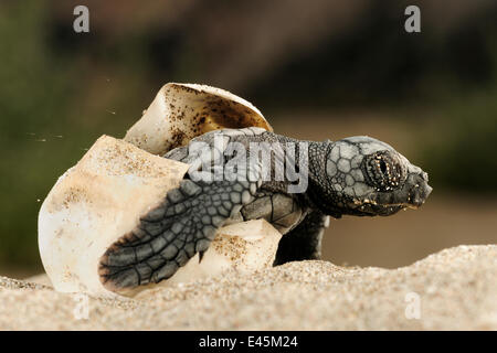 Loggerhead turtle (Caretta caretta) hatching, Dalyan Delta, Turkey, July 2009 NOT AVAILABLE FOR PRINTING / COMMERCIAL - Stock Photo