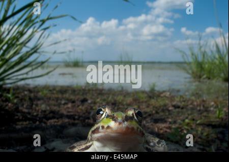 European edible frog (Rana esculenta) by Lake Belau, June 2009 - Stock Photo