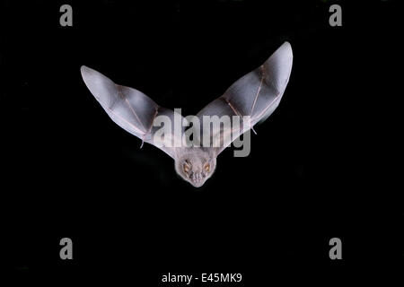 Neotropical Fruit Bat (Aritbeus hartii) in flight at night, Tamaulipas, Mexico - Stock Photo