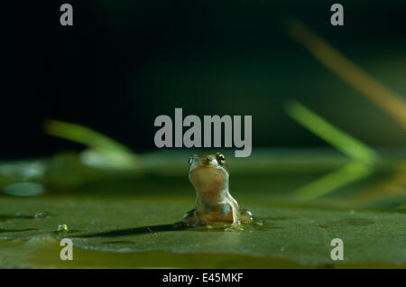 Common frog {Rana temporaria} froglet sitting on lily pad in water, UK - Stock Photo