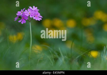 Bird's eye primrose (Primula farinosa) in flower, Liechtenstein, June 2009 - Stock Photo