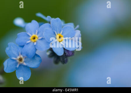 Alpine forget-me-not (Myosotis alpestris) in flower, Liechtenstein, June 2009 - Stock Photo