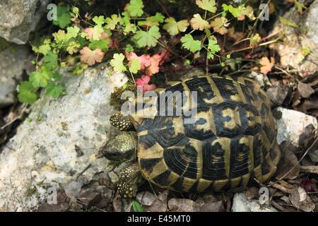 Hermann's / Dalmatian tortoise (Testudo hermanni hercegovinensis) near Svitava Lake, Hutovo Blato Nature Park, Bosnia - Stock Photo