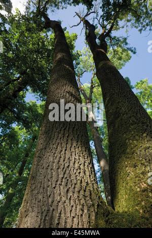 Common Oak (Quercus Robur) and Ash (Fraxinus Sp) Forest