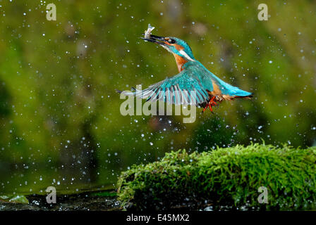 Common kingfisher {Alcedo atthis} coming up out of water with fish, Lorraine, France - Stock Photo
