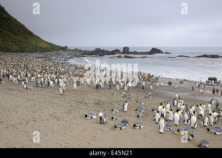 King Penguins (Aptenodytes patagonicus) colony on the beach with ocean in background ,Sandy beach in the Sub Antarctic - Stock Photo