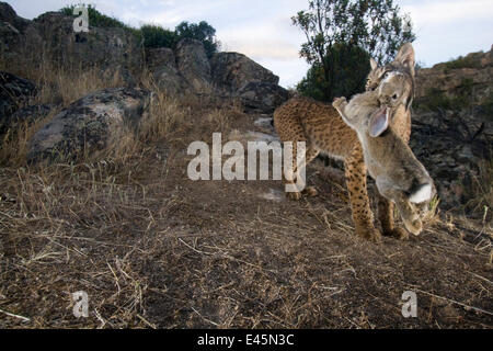 Wild Iberian lynx (Lynx pardinus) male carrying rabbit prey, Sierra de Andújar Natural Park, Mediterranean woodland - Stock Photo