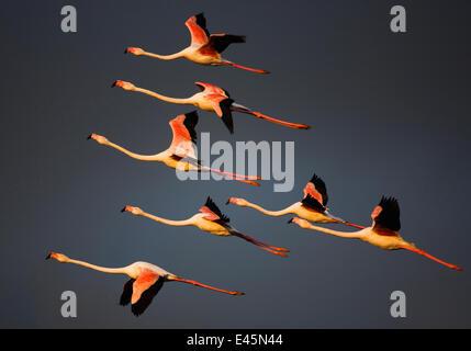 Greater flamingos (Phoenicopterus roseus) in flight, Camargue, France, April 2009. WWE INDOOR EXHIBITION - Stock Photo