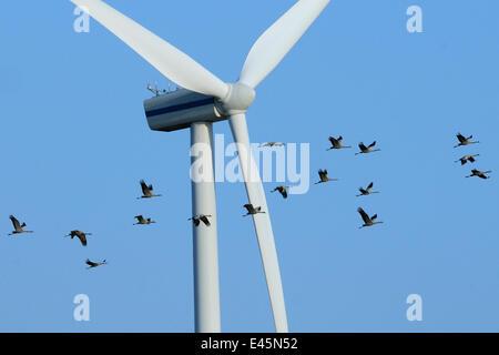 Common / Eurasian crane (Grus grus) flock flying close to wind turbine, Germany, October 2009 - Stock Photo