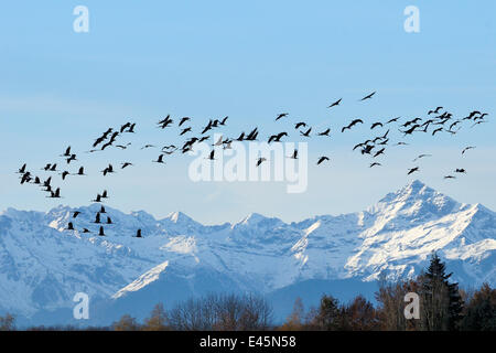 Common / Eurasian crane (Grus grus) flock in flight with snow topped Pyrenees mountains,  France. December 2009 - Stock Photo