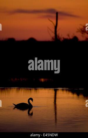 Mute Swan (Cygnus olor) adult silhouetted on lake at sunset, Oostvaardersplassen, Netherlands, June 2009 - Stock Photo