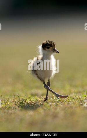 Masked lapwing / plover (Vanellus miles novaehollandiae) chick walking, Hervey Bay, Queensland, Australia - Stock Photo