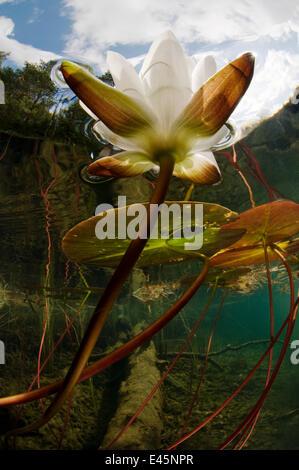European white water lily (Nymphaea alba) flower in lake, Bohuslän, Sweden, August 2008 WWE BOOK - Stock Photo
