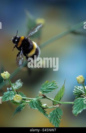 Common white tailed bumblebee (Bombus lucorum) in flight. Summer, UK - Stock Photo