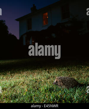 Hedgehog (Erinaceus europaeus) on garden lawn at night, UK - Stock Photo