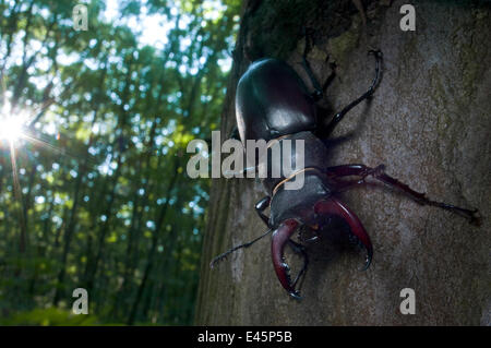Male Stag beetle {Lucanus cervus} tree trunk, Codrii Reserve, Central Moldova, June 2009 WWE OUTDOOR EXHIBITION. - Stock Photo