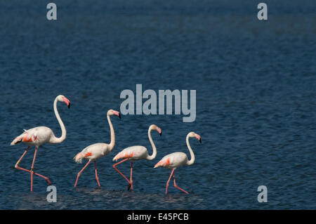 Small flock of Greater flamingo (Phoenicopterus roseus) wading on inland Kalloni lake, Lesbos, Greece - Stock Photo