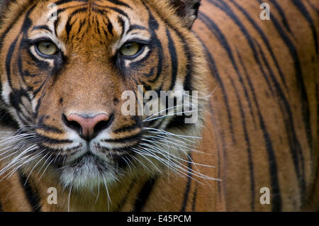 Head portrait of Sumatran tiger (Panthera tigris sumatrae) captive - Stock Photo