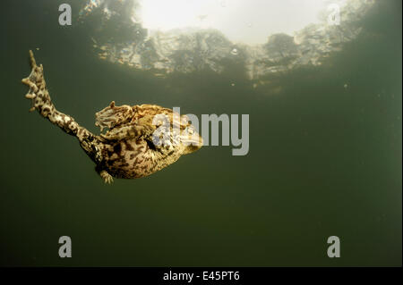 Pair of Common european toads (Bufo bufo) swimming together in pond, Germany - Stock Photo