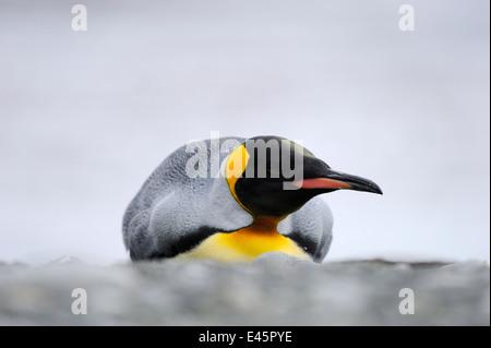 King Penguin (Aptenodytes patagonicus) lying on the beach of Macquarie Island, sub Antarctic waters of Australia. - Stock Photo