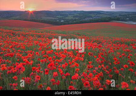 Sunset over fields of Common poppies (Papaver rhoeas) South Downs, West Sussex, England. June 2009 - Stock Photo
