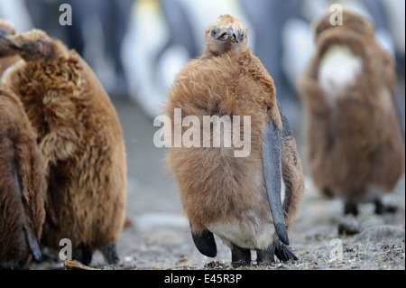 Juvenile King Penguin (Aptenodytes patagonicus) standing on the beach of Macquarie Island, sub Antarctic waters - Stock Photo