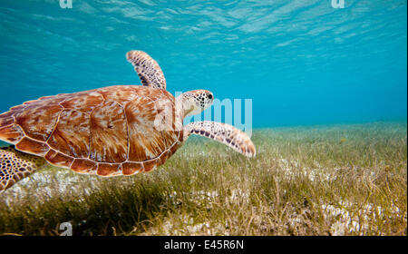 Green turtle (Chelonia mydas) swimming over sea grass, Grenadines, Caribbean, February 2010. - Stock Photo