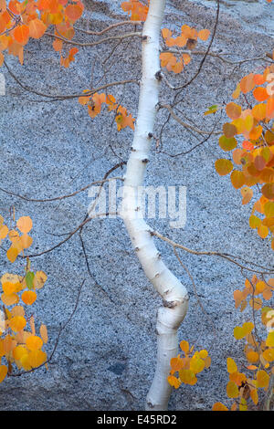 Autumn colours of Aspen tree (Populus tremula) Sierra Nevada, California, USA. September 2009 - Stock Photo