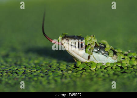 Head portrait of Gulf Coast Ribbon snake (Thamnophis proximus orarius) covered in duckweed and swimming, with tongue - Stock Photo