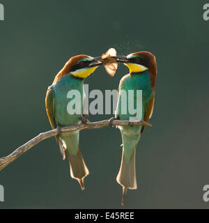 Pair of European bee-eaters (Merops apiaster) with courtship offering of insect prey,  Pusztaszer, Kiskunsagi National - Stock Photo