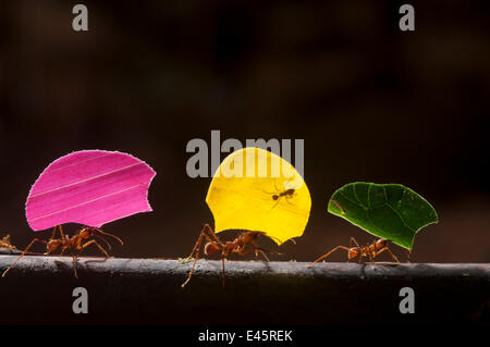 Leaf cutter ants (Atta cephalotes) carrying sections of leaves, to be used for cultivating nutritious fungi, Santa - Stock Photo