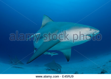 Female Bull sharks (Carcharhinus leucas) in seasonal breeding aggregation with Sharksuckers (Echeneis naucrates) - Stock Photo